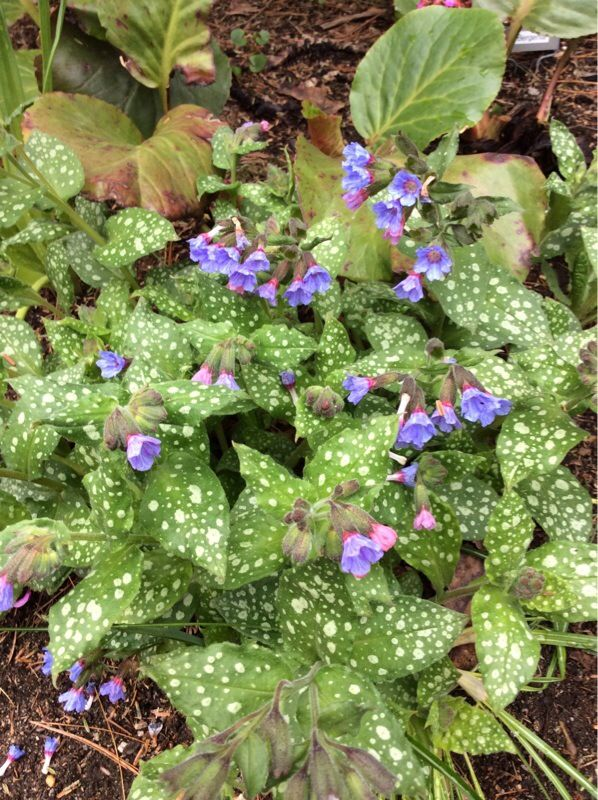 Lungwort Pulmonaria These Speckled Leaves And Blue Pink Purple Flowers Belong To A Lungwort They Flower From Now Th Plant Identification Free Plants Plants