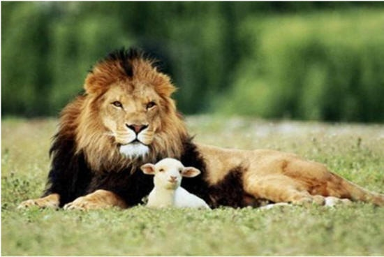 Peaceable KingdomLion, Maintain Healthy, Healthy Relationships, Animal Kingdom, Faith,  King Of Beasts,  Panthera Leo, Lambs, God Creatures
