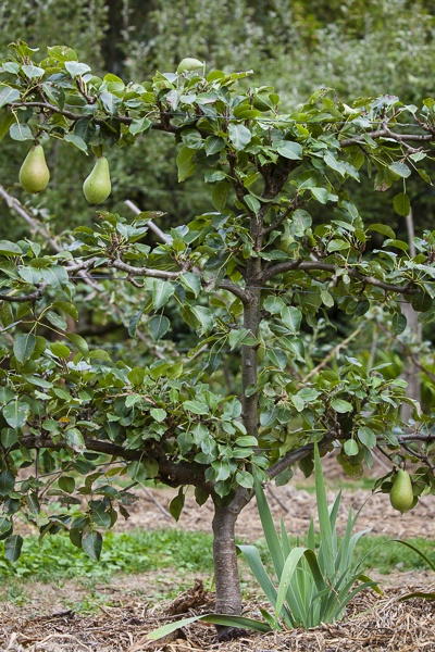 Espaliered Pear at The Garden Of St Erth. Photo by Claire Takacs