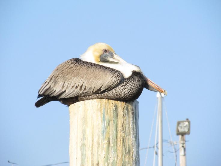 Relaxing Pelican