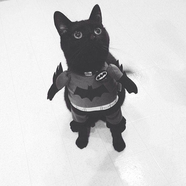 found Totu0027s halloween costume for this year! & 42 best Halloween cats images on Pinterest | Black cats Cats and ...