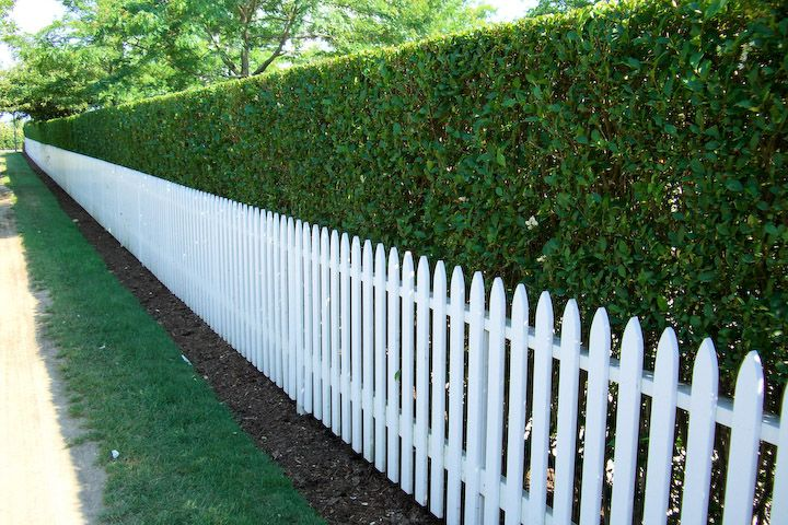 privet hedge Fence up and then this hedge!!