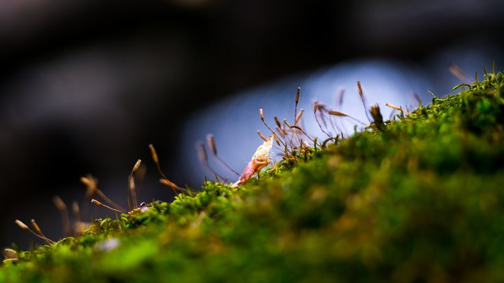 Moss - A tiny leaf among the sporophytes on a fallen, mossy tree.