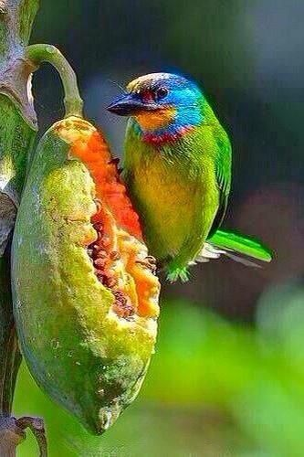 What a colors! The painted bunting (Passerina ciris) is a species of bird in the Cardinal family