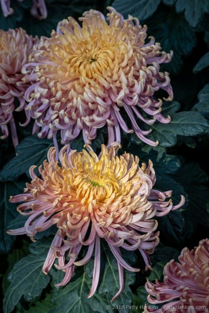 Chyrsanthemums At Longwood Gardens Beautiful Flowers Pictures Chrysanthemum Flower Chrysanthemum