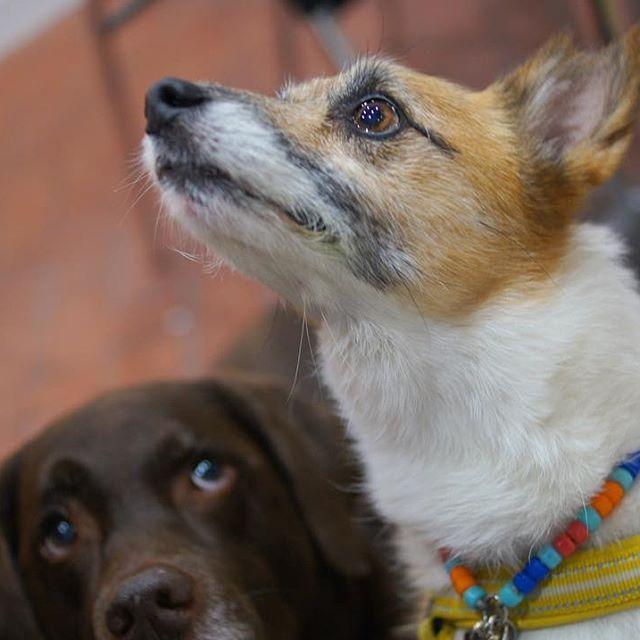 個室のインナーテラスだからコソッとオヤツもOKさ😏👌 冷暖房完備だし、快適空間〜😆❤️❤️ #ichirin #犬OK #インナーテラス #犬とおでかけ#アウトドア #犬 #いぬら部  #dog  #大型犬 #愛犬 #犬とおでかけ #ラブラドール #ラブ#labrador #lab #チョコラブ #chocolab  #instadog #コーギー✖️ジャック #food #instafood #diet #ダイエット #これでもダイエット中 #らーめん探犬隊🐾