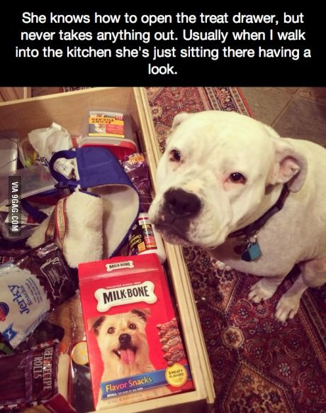 """She knows how to open the treat drawer... she's so cute!"" ~ Dog Shaming shame - Pit Bull"