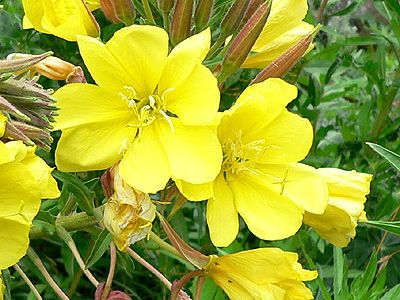 Evening primrose oil - an ingredient in Down to Earth's African Potato Cream and Revive Moisturiser. Rich in essential fatty acids, vital for skin formation; reduces inflammation.