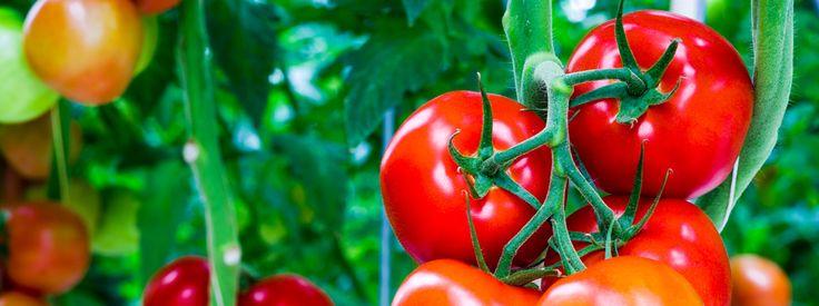 Pomodori: le cure migliori  I pomodori sono semplici da coltivare ma il mancato rispetto di alcune esigenze della pianta può facilmente comprometterne la crescita, lo sviluppo e la produzione dei frutti. Ecco come fare crescere pomodori perfetti e rimediare alle malattie più comuni. http://www.cosedicasa.com/pomodori-le-cure-migliori-42693/