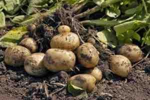 Опыт выращивания картофеля - 20 кустов - 40 ведер