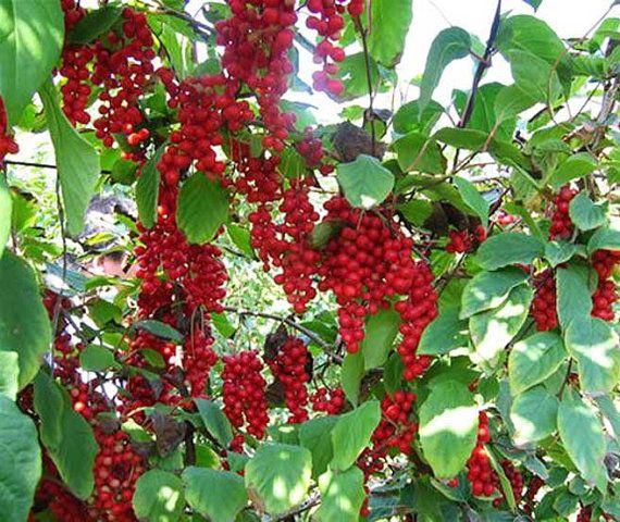 Schisandra Chinensis - 20 Seeds - Five Flavor Berry ( Wu Wei Zi )