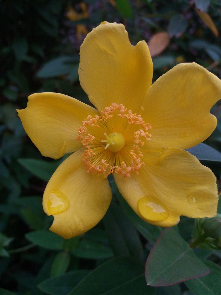 harmatos sárga virág / dewy yellow flower