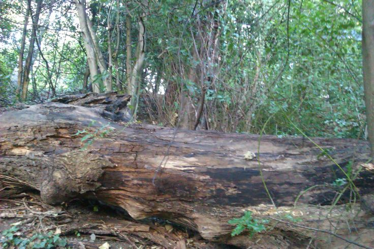Log in the undergrowth. Poor sound.