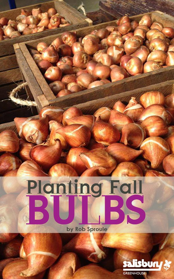Planting #FallBulbs. In the fall, when you're thinking more about school supplies than the garden, it's counter-intuitive to wrap our heads around planting for spring.  In May, however, when your triumphal red and yellow tulips are turning every head in the neighbourhood, it will make you look and feel pretty darn savvy. By Rob Sproule, Salisbury Greenhosue.