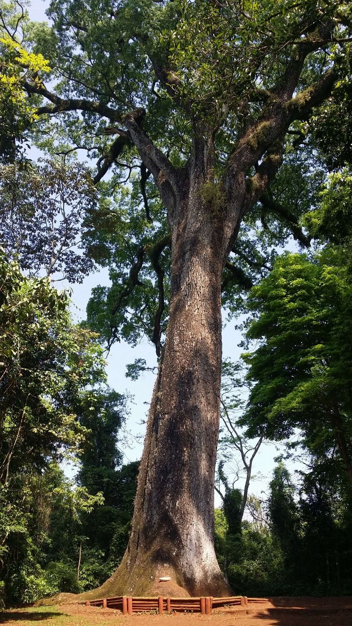 jequitiba-Atlantic forest Brazil