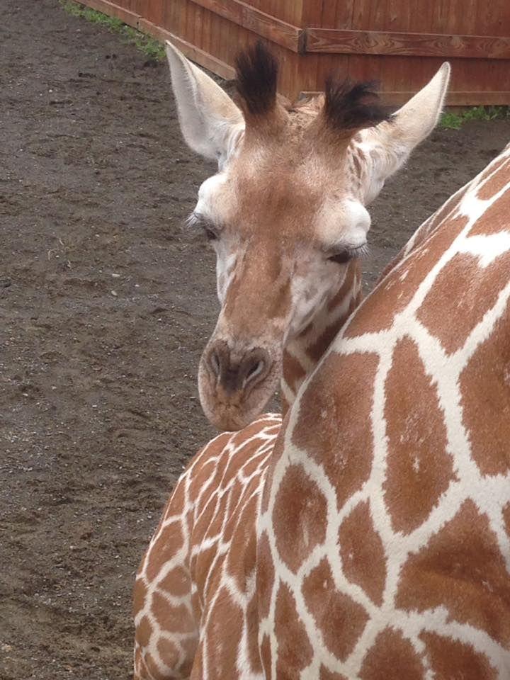 tajiri the giraffe birthday