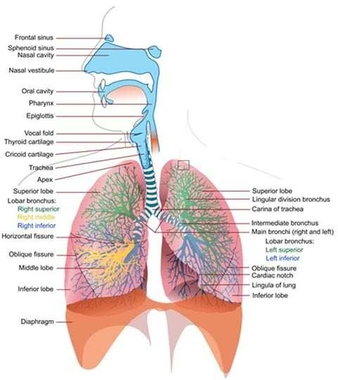 Human Ventilation System : Best images about respiratory system on pinterest