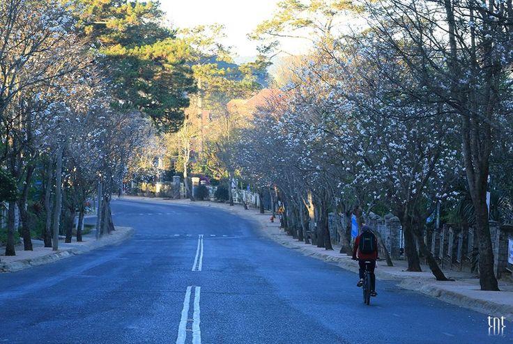 Đà Lạt mùa hoa ban Tuy không phải là loài hoa đặc trưng của Đà Lạt và cũng chỉ được trồng ở Đà Lạt chưa lâu nhưng hoa ban cũng đã góp phần làm cho bức tranh mùa xuân trên thành phố này thêm phần đặc sắc.