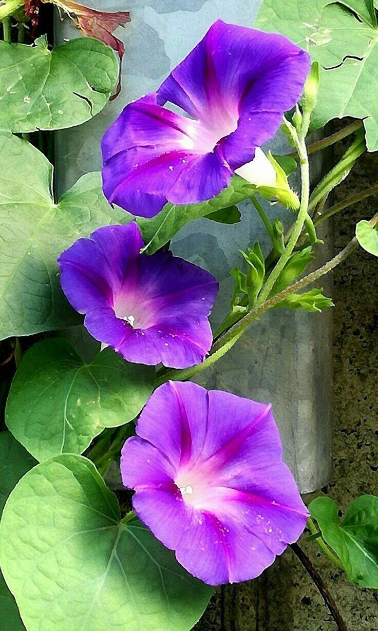September Birth Flower, Morning Glory, Birth Month Flower