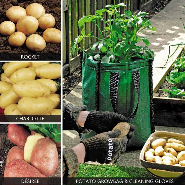 Potatoes   This Special Potato U0027Patio Collectionu0027 Is Ideal For Growing  Potatoes On Your