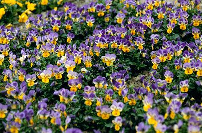 Pansy 'Sorbet Yellow Frost' (Viola 'Sorbet Yellow Frost' (Sorbet Series)) | Ultimate height Up to 0.1m |  Ultimate spread 0.3m