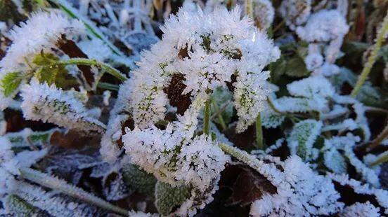 Flower frost