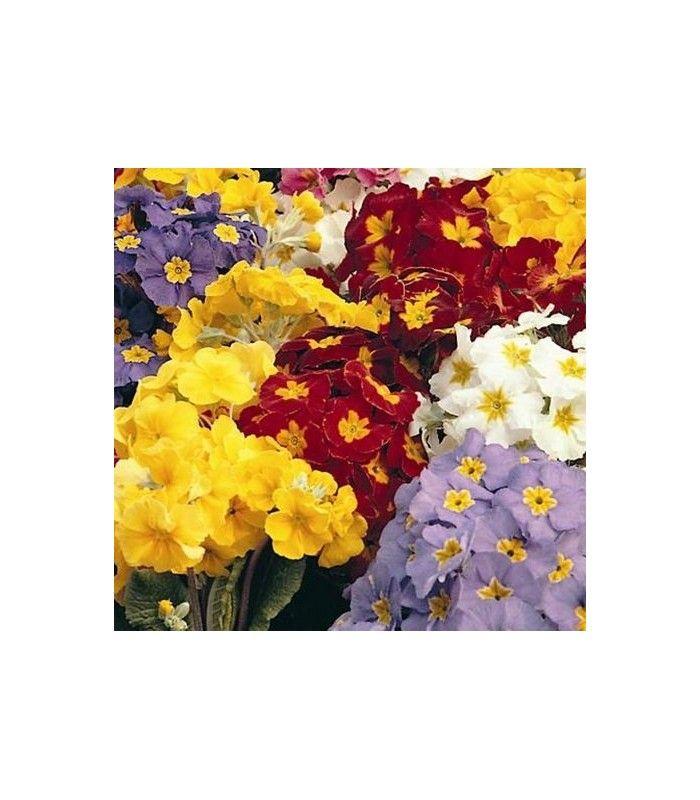 Prvosenka velkokvětá směs - Primula elatior mix - pěstování