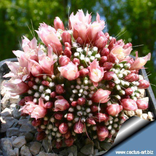 "Mammillaria painteri forma mostruosa (Syn: Mammillaria crinita ssp. crinita ""mostruosa"")"