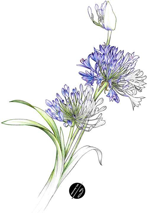 Illustration botanique agapanthe-Florence Gendre