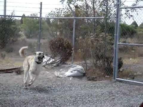 PASTOR DE ANATOLIA CUIDANDO SU PROPIEDAD, cachorros disponibles