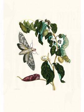Merian Butterfly prints Soursop