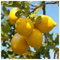 http://www.fast-growing-trees.com/Improved-Meyer-Lemon-Tree.htm?gclid=CNr08sCY_a8CFYFo4Aod6l8jHQ#