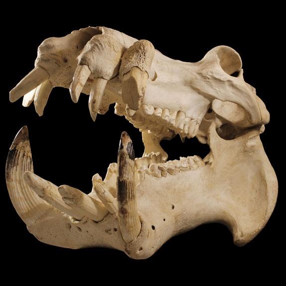 The 100 best Animal skulls images on Pinterest | Animal skulls ...