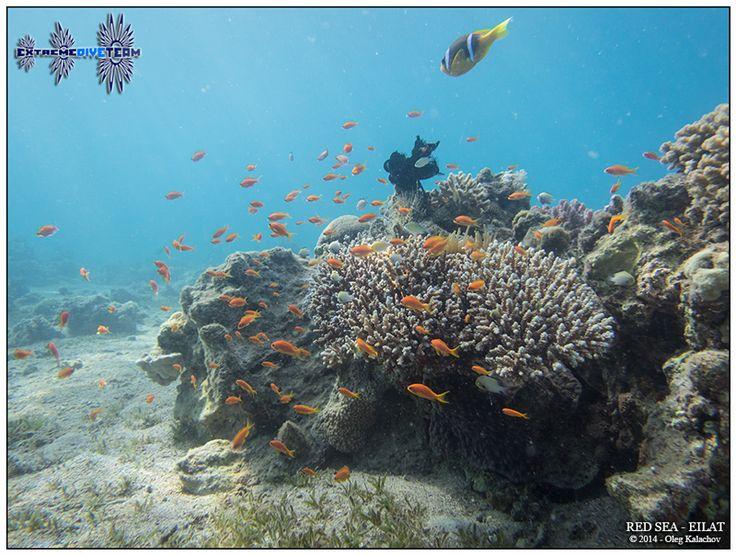 Подводная фотография - Дайвинг в Израиле - Красное море - Эйлат (2)