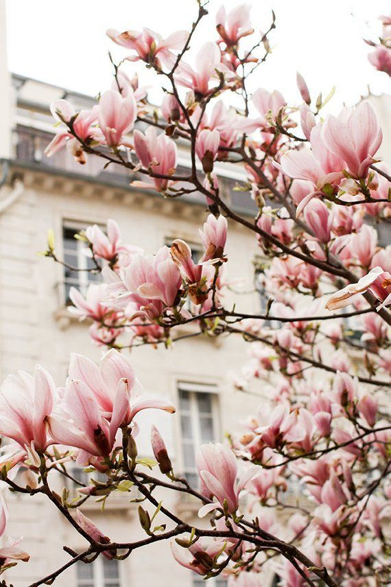 Paris Photography Pink Magnolia Trees In Paris Paris Home Etsy Springtime In Paris Paris Wall Art Pink Paris