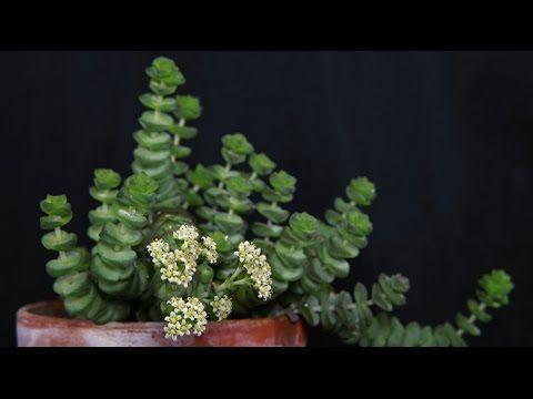 Crassula rupestris - Felsen-Dickblatt, Jade Neckless