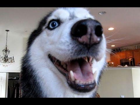 Husky Dog Sings With Ipad Better Than Bieber