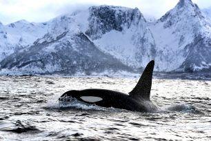 Orca Norway Tromsø