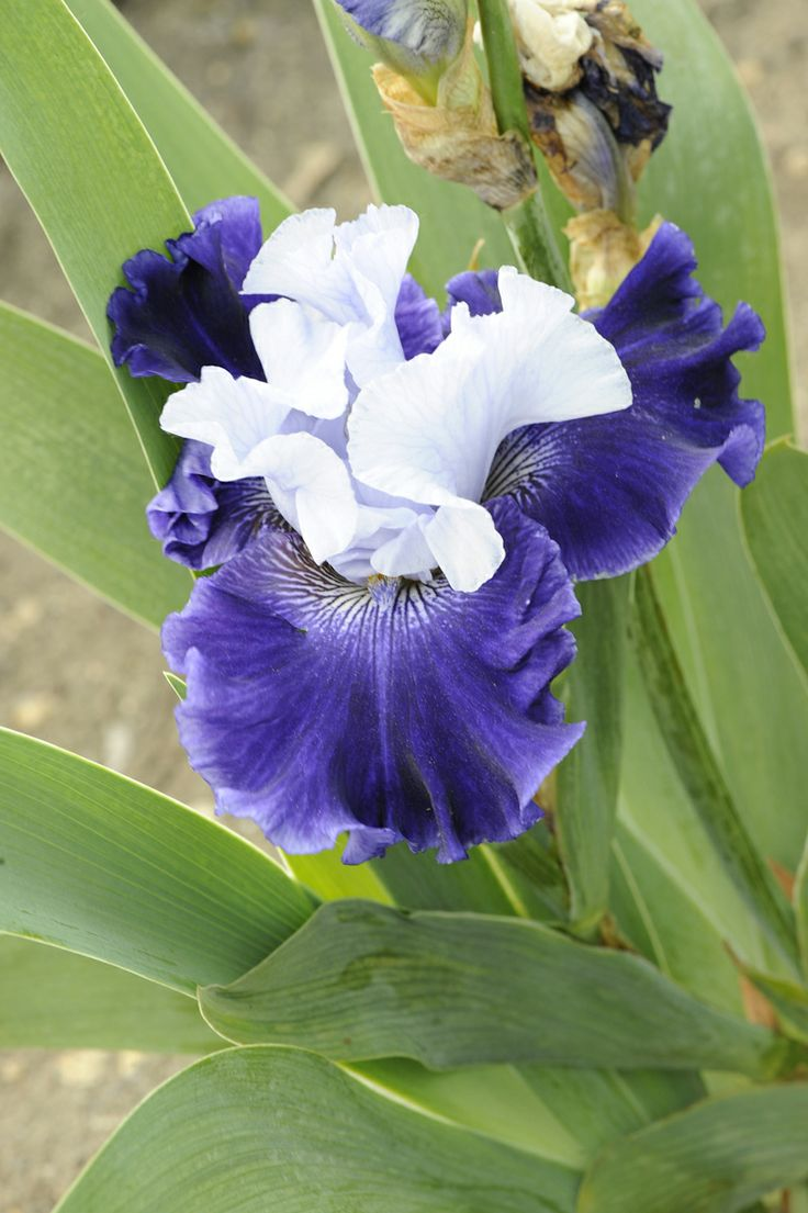 24 best iris images on pinterest flowers garden iris garden and tall bearded iris world premier photo does not even do it justice looks like white center but is a beautiful pale bluelavender my favorite flower izmirmasajfo