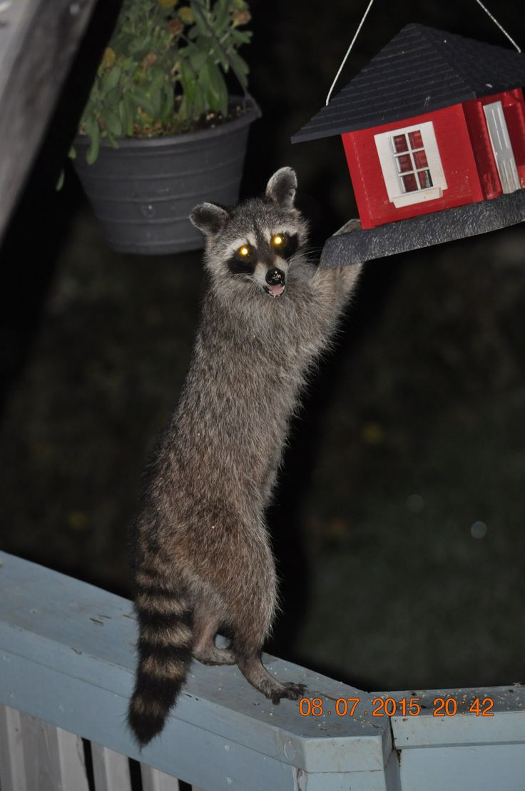 https://flic.kr/p/vwhGoS | July 8, 2015 Raccoon eating my bird food | I found the dirty rascal who has been eating my bird food, he is not a squirrel!