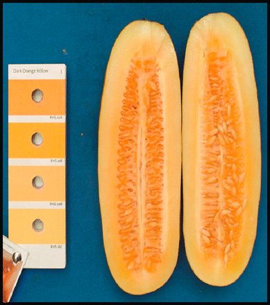 """An orange-fleshed cucumber, so cool!  And, all done thru traditional breeding methods, not a """"frankencuke""""!"""