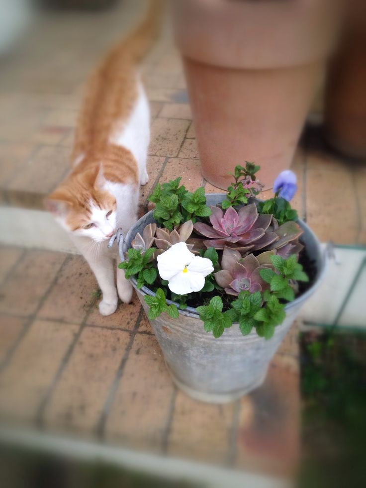 Pretty pansies & mint