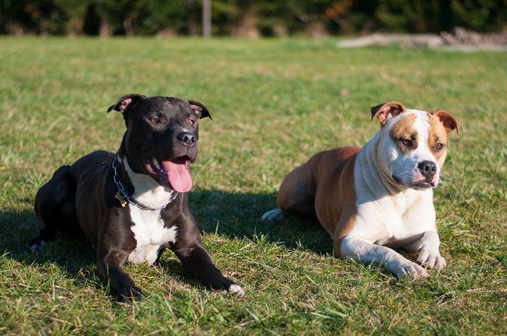 Pitbull & and staffbulldog cross