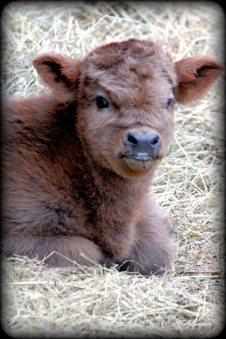 Brown baby cows - photo#11