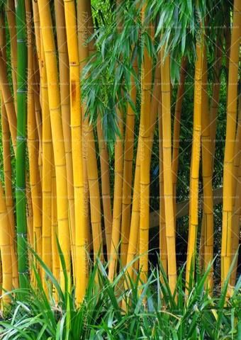 40PCS Bamboo Seeds Phyllostachys Pubescens Rare Giant Bamboo Seeds  Bambusa Lako Tree Seeds For Home Garden Plant