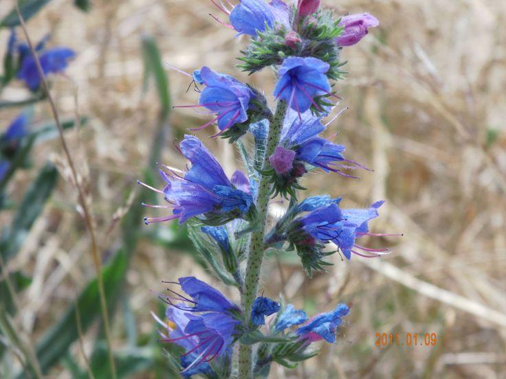 """Flor silvestre del sur de Chile """"Wildflower southern Chile"""""""