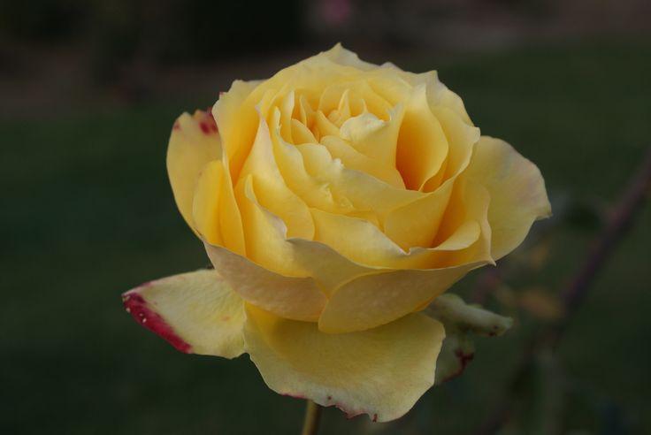 yellow-rose.jpg (1000×669)