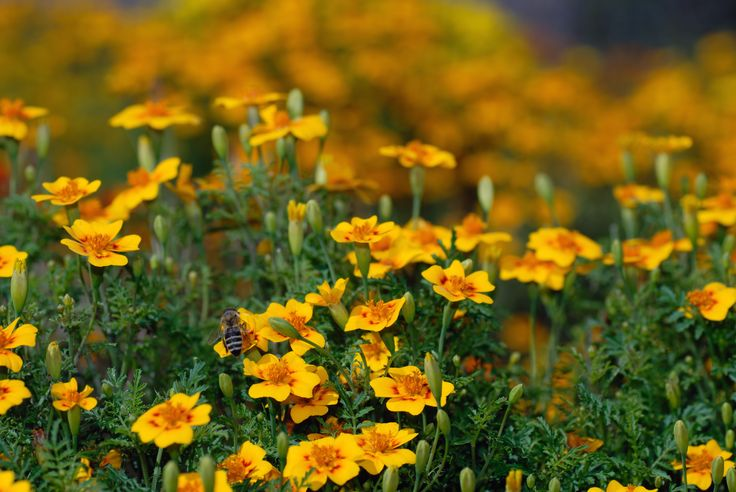 Find out: Tagetes Lucida Mexican Marigold wallpaper on  http://hdpicorner.com/tagetes-lucida-mexican-marigold/