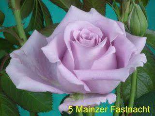 голубые и радужные розы минск беларусь http://www.roza.guru/