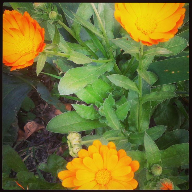 Heti gyógynövényünk: a körömvirág | Fűben-fában egészség